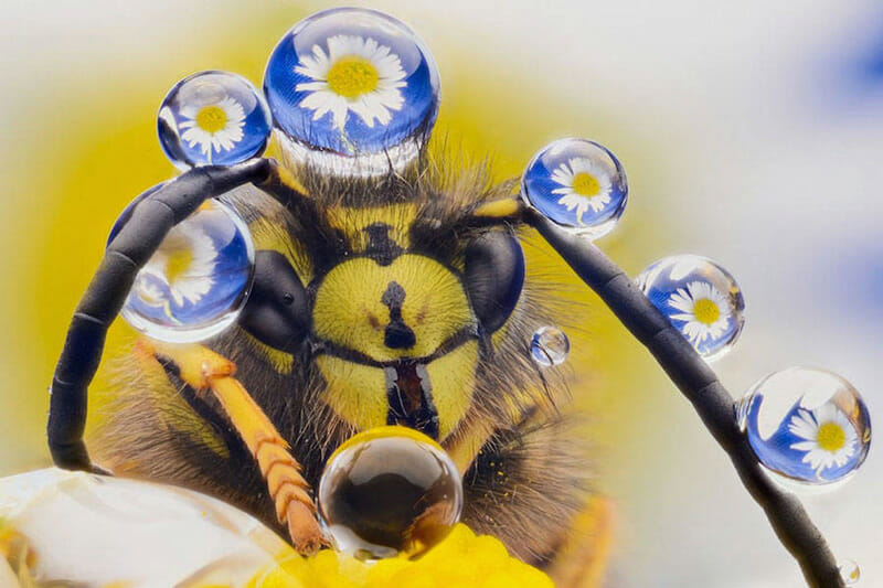 Flower reflected in drops on honey bee. Photo by Murray McCulloch
