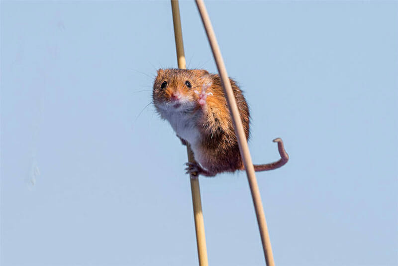 Field mouse on stilts. Photo by Michael Erwin