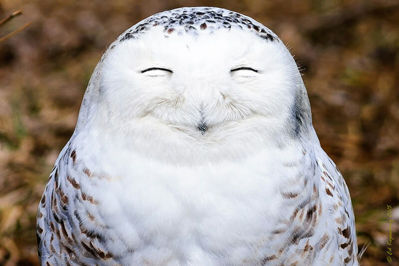Snowy Owl. Photo by Edward Kopeschn