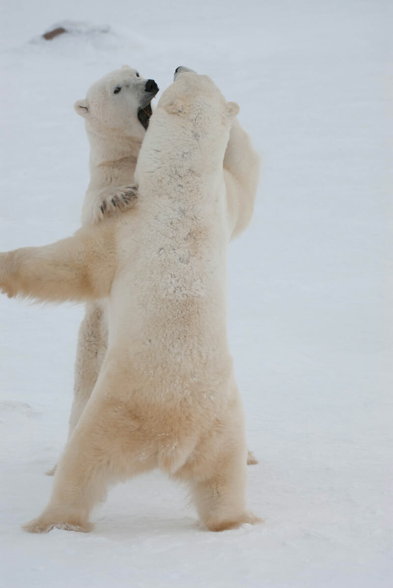 Polar bears definitely not hugging. Photo from Polar Bears International