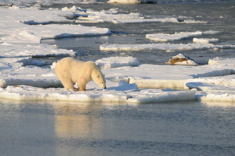 Polar Bear on the ice. Photo via Polar Bears Inernational