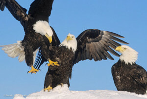 Photo of bald eagles roosting by Daniel J. Cox at NaturalExposures.com as managed in Mylio