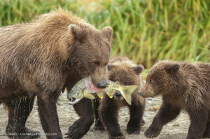 Photo of mother bear and cubs by Daniel J. Cox at NaturalExposures.com as managed in Mylio