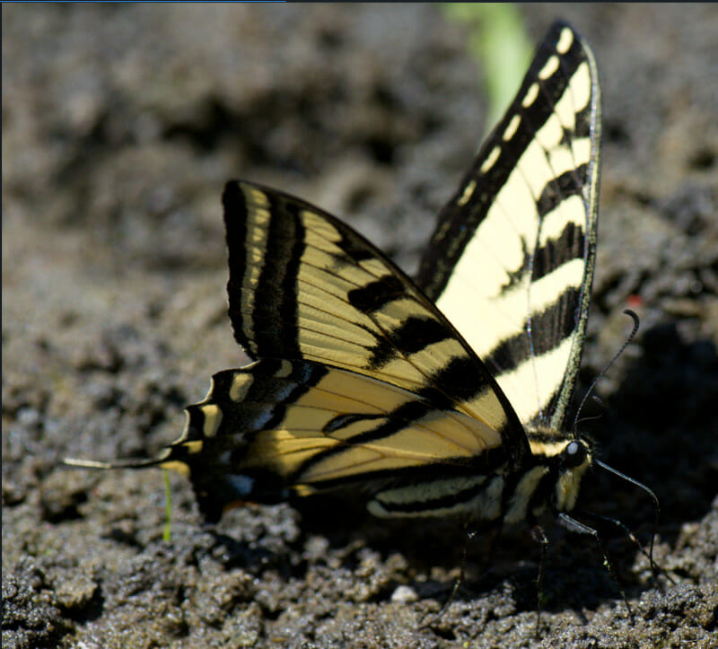 Photo of a Tiger Swallowtail Butterfly
